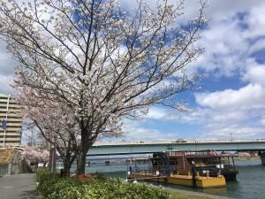 4月11桜